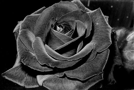 Rose, 1984. Daido Moriyama